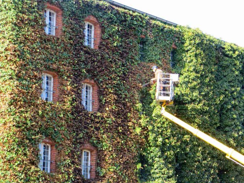 Efeubeschnitt an der Vierrademühle in Neubrandenburg